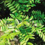 tongkat ali, herba